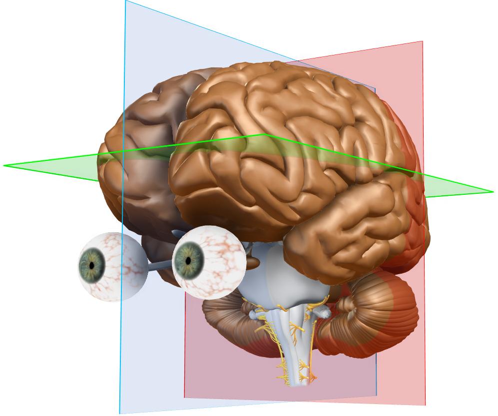 Welt MS Tag 2017: Führung durch das virtuelle Gehirn - AMSEL e.V. ...