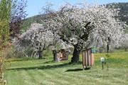 Blühende Obstbäume in Lalling, Bayerischer Wald