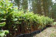 Die Landesforsten wollen ihre Nutzbaumarten am Wurmberg verstärkt mit Pioniergehölzen vor Klimaextremen schützen. Erlen und Birken mit Wurzelballen  werden als Vorauswald auf Kahlflächen gesetzt.