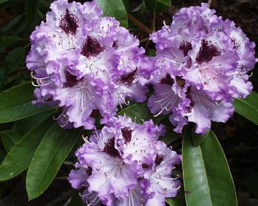 Rhododendron (Bildnachweis: Julia Freese)