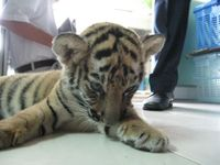 Live Tiger found in check-in baggage