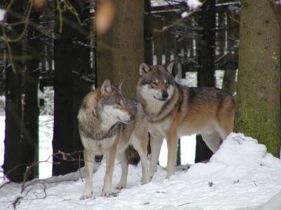 Wölfe im Winter. Foto: Wildpark-MV