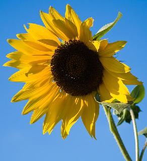 Sonnenblume By Jason Pratt