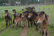 Der Hutewald Solling der Niedersächsischen Landesforsten beheimatet den größten Bestand an Exmoorponys / Foto: Naturpark