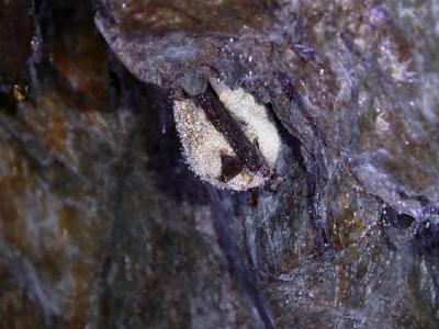 Fledermäuse überwintern im Dunkeln mit kaltem Hintern wie dieses Tier in einem alten Bergstollen im Harz