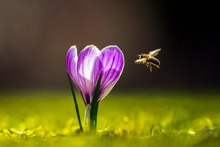 Biene im Blütenanflug