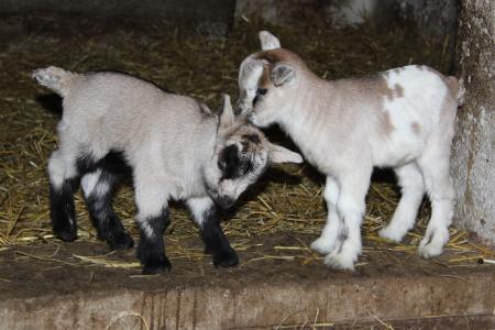 Die ersten Zwergziegen sind geboren und können im Streichelgehege besucht werden / Foto: Wildpark-MV