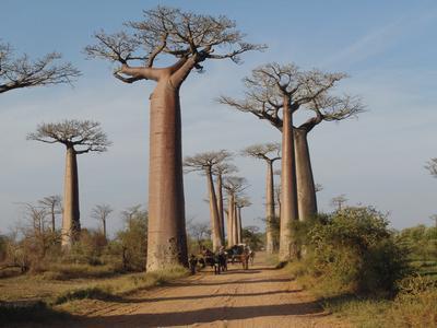 Die berühmte Allee der Baobabas an der Westküste der Insel Madagaskar