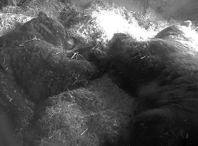 Winterruhe Bären, Foto: Wildpark-MV