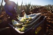 Aloe Vera - gesunder und vielseitiger Rohstoff als nachhaltige Basis erfolgreicher Produkte