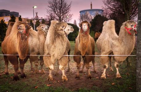 Circus Maximum organisiert Safariland am Niederrhein - auch die Kamele freuen sich schon / Copyright: Wunderland Kalkar
