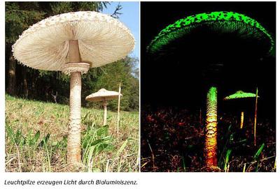 bio energiesparlicht aus leuchtenden pilzen megaman idv import und. Black Bedroom Furniture Sets. Home Design Ideas