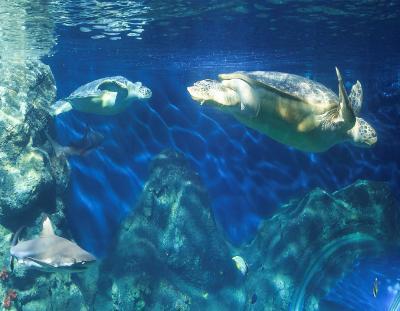 Grüne Meeresschildkröten / SEA LIFE Konstanz