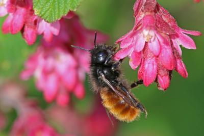 Heimische Blumen für heimische Bienen: Gehörnte Mauerbiene (Osmia Cornuta) / © Hans-Jürgen Sessner