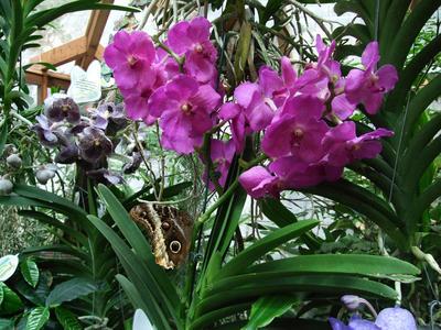 Vanda-Orchidee mit einem Bananenfalter