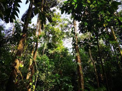 Peru, Baumgigant in der Amazonas-Region, Copyright atambo tours