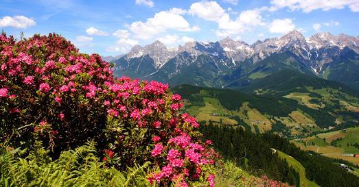 Panorama mit Alpenrosen / Hochkönigs Bergreich
