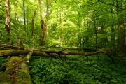 Naturnaher Laubmischwald mit Totholz, Altholz und Naturverjüngung - Foto: Harry Neumann/NI