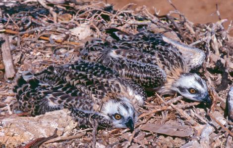 Fischadler-Junge