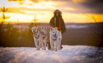 Für die Hundeschlittenausflüge durchs verschneite Lappland ist keine Erfahrung nötig. Jeder Teilnehmer führt sein eigenes Gespann.