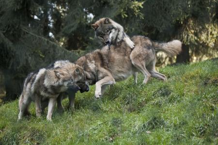 Im oberpfälzischen Lohberg ist ein gemeindeeigenes Wolfsrudel zum überregionalen Touristen-Magnet geworden. Im Bayerwald Tierpark ist das Wolfsrudel die Hauptattraktion. Foto: obx-news/Bayerwald Tierpark
