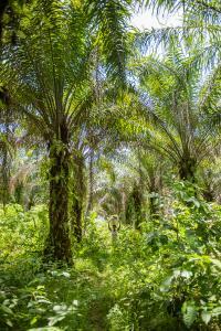 Rapunzel bezieht und verarbeitet für seine Produkte ausschließlich fair gehandeltes Bio-Palmöl, z. B. aus Ghana.