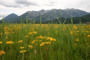 Arnica montana in Bluete im Alpenvorland - Benjamin Schwarz