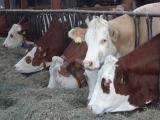 Milchkuh-Haltung im landw. Betrieb