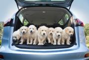 Magnificent seven: The Opel Zafira can accommodate seven Golden Retriever puppies as well as seven human beings