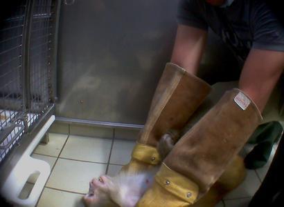 copyright SOKO Tierschutz/BUAV Tierversuche MPI