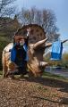 DinoScout springend vor Triceratops horridus low (c) Landesmuseum Hannover