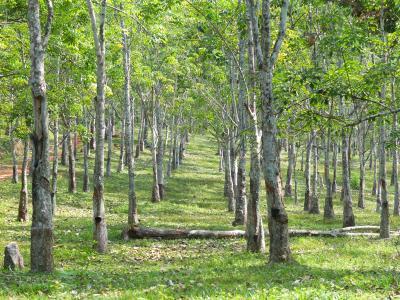 Plantage Hevea brasiliensis