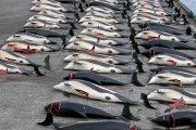 Färinger im Blutrausch: 1.400 Delfine bei einem Grindadráp getötet