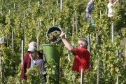 """In der Ferienlandschaft """"Liebliches Taubertal"""" steht die Weinlese kurz bevor. Radler, Wanderer und Weininteressierte sind eingeladen, die Szenerie der Weinlese und das in der Natur bunter werdende Taubertal und Maintal bei einem Besuch kennenzulernen. Unser Bild zeigt die Weinlese im Röttinger Feuerstein. Infos zum Radeln, Wandern, Wein und Kulinarischem Profil gibt es unter www.liebliches-taubertal.de. Foto: TLT/Peter Frischmuth"""