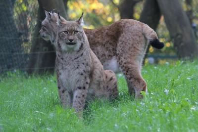 Wildpark MV Luchs