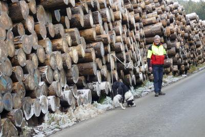 Eisschicht schützt Baumstämme vor Borkenkäfern