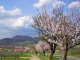 Die  Pfalz blüht  rosa  entalng  des  Pfälzer Mandelpfades