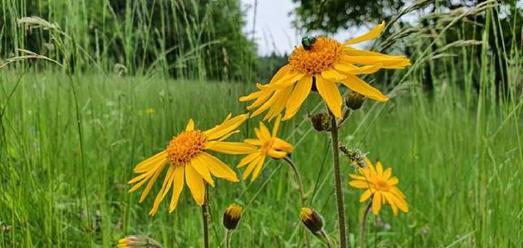 Ungedüngte Magerwiesen mit dem typischen Borstgras waren die natürlichen Lebensräume der einst weitverbreiteten Arnika-Blume. Intensive Grünlandbewirtschaftung mit Düngung und Einsaat von Wirtschaftsgräsern ließen die Population auf ein einziges Solling-Vorkommen mit nur noch dreißig Pflanzen schwinden