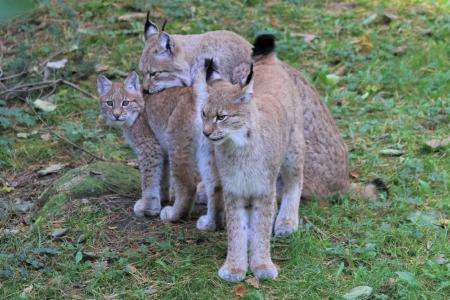 Wildpark MV Luchs Jungtier, Foto: Wildpark-MV