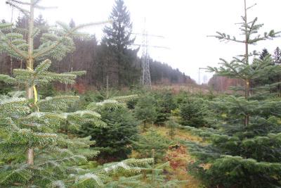 Der Weg zum perfekten Weihnachtsbaum