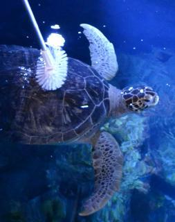 Schildkrötenpanzer putzen / SEA LIFE Konstanz