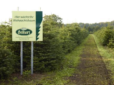 Die Weihnachtsbäume vom Hof Oelkers werden gehegt und gepflegt