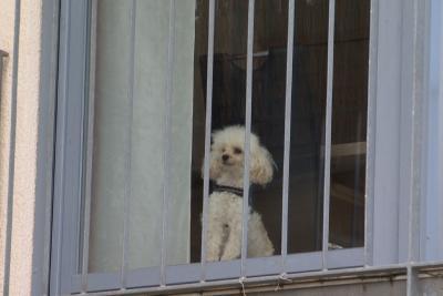 Pudel Milan wartet auf seine Hundehalterin.