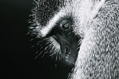 """Grüne Meerkatze / Fotoarbeiten """"Abenteuer Afrika""""   Fotos: Susen Reuter"""