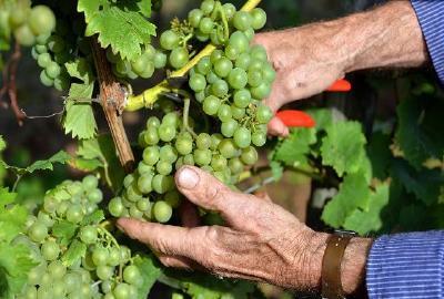 Winzer pflanzen mehr weiße Sorten / Foto: Deutsches Weininstitut DWI