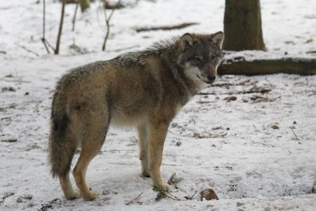Wolf in  Winter, Foto: Wildpark-MV