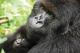 Intrepid Travel_Gorilla Trekking