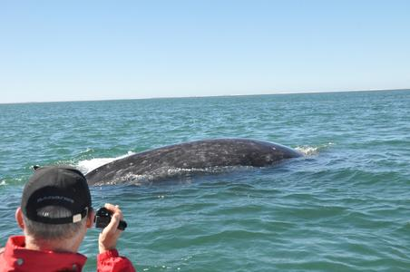 Whale Watching in der San Ignacio Lagoon