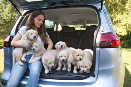 Positive imprint: A car smells odd to a dog. When the family gets a new car, young puppies should be among the first to check it out