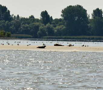 Kegelrobbe und zwei Seehunde bei Niedrigwasser auf einer kleinen Wattfläche im Mühlenberger Loch, Elbe, Hamburg, Copyright: Dr. Abbo van Neer